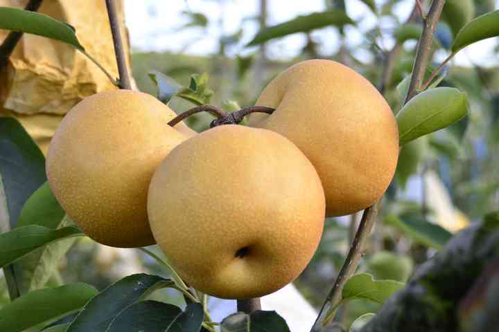 豐水梨12顆裝