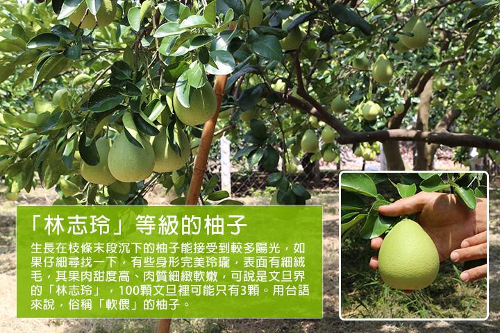 「林志玲」等級的柚子  生長在枝條末段沉下的柚子能接受到較多陽光,如果仔細尋找一下,有些身形完美玲瓏,表面有細絨毛,其果肉甜度高、肉質細緻軟嫩,可說是文旦界的「林志玲」,100顆文旦裡可能只有3顆。用台語來說,俗稱「軟偎」的柚子。
