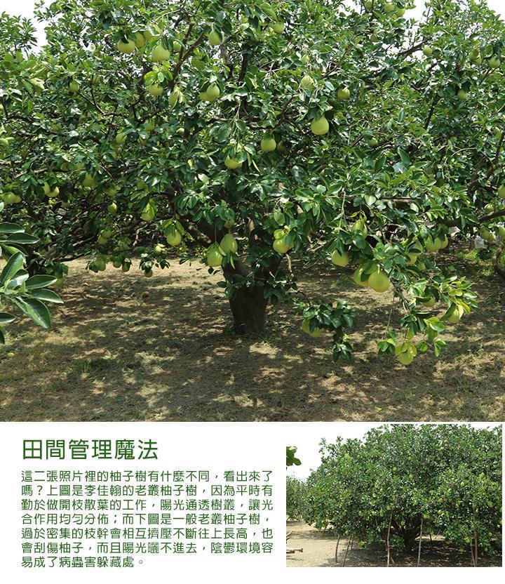 田間管理魔法 這二張照片裡的柚子樹有什麼不同,看出來了嗎?上圖是李佳翰的老叢柚子樹,因為平時有勤於做開枝散葉的工作,陽光通透樹叢,讓光合作用均勻分佈;而下圖是一般老叢柚子樹,過於密集的枝幹會相互擠壓不斷往上長高,也會刮傷柚子,而且陽光曬不進去,陰鬱環境容易成了病蟲害躲藏處。