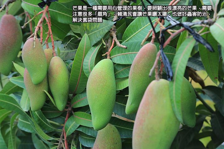 芒果是一種需要用心管理的果樹,要照顧出很漂亮的芒果,需要注意很多「眉角」,賴清民會讓芒果曬太陽,也做好蟲害防治,解決套袋問題