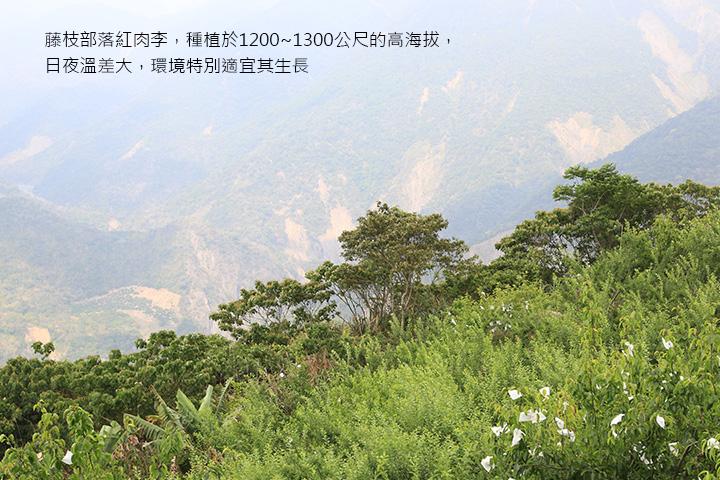 藤枝部落紅肉李,種植於1200~1300公尺的高海拔,日夜溫差大,環境特別適宜其生長