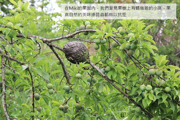 在Miki的果園內,我們瞥見果樹上有螞蟻蓋的小窩,果真自然的美味連昆蟲都難以抗拒
