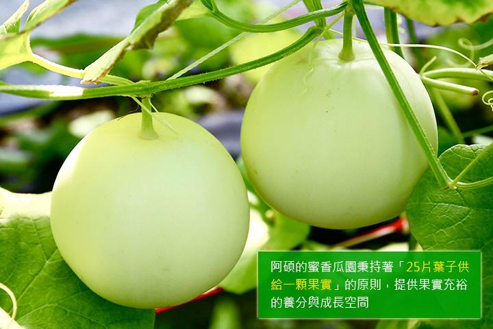 阿碩的蜜香瓜園秉持著「25片葉子供給一顆果實」的原則,提供果實充裕的養分與成長空間