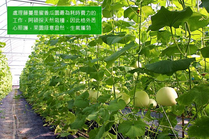 處理藤蔓是蜜香瓜園最為耗時費力的工作,阿碩採天然栽種,因此格外悉心照護,果園綠意盎然、生氣蓬勃