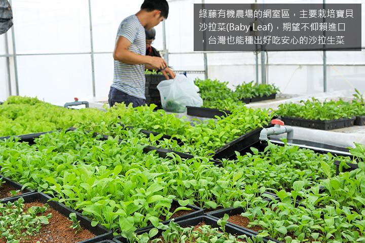 綠藤有機農場的網室區,主要栽培寶貝沙拉菜(Baby Leaf),期望不仰賴進口,台灣也能種出好吃安心的沙拉生菜
