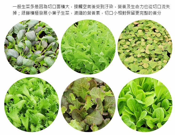 一般生菜多是因為切口面積大,接觸空氣後受到汙染,營養及生命力也從切口流失掉;綠藤積極發展小葉子生菜,濃縮的營養素,切口小相對保留更完整的養分
