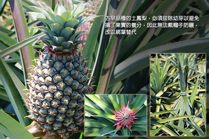 古早品種的土鳳梨,必須拔除幼芽以避免搶了果實的養分,因此無法戴帽子防曬,改以綁葉替代